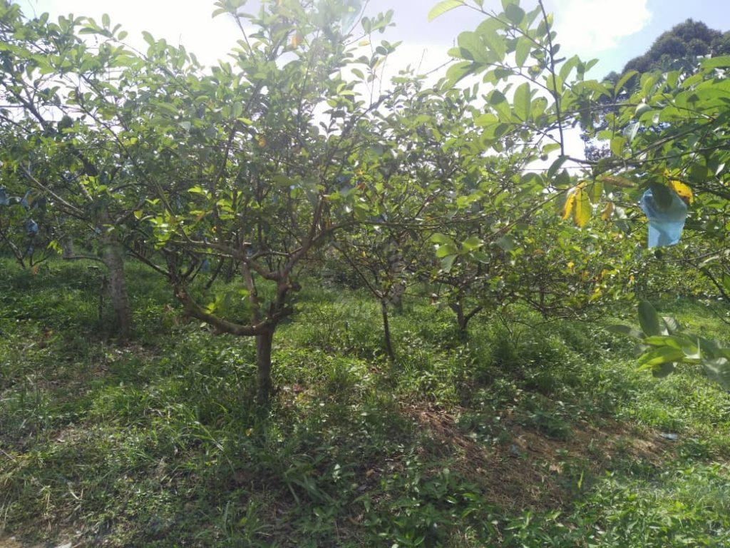 ban foo 2 guava agricultural  agricultural landss 2 acres land area sale at rm 660,000 #4213