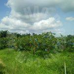 ban foo 2 guava agricultural  agricultural lands 2 acres land area selling at rm 660,000 #4214