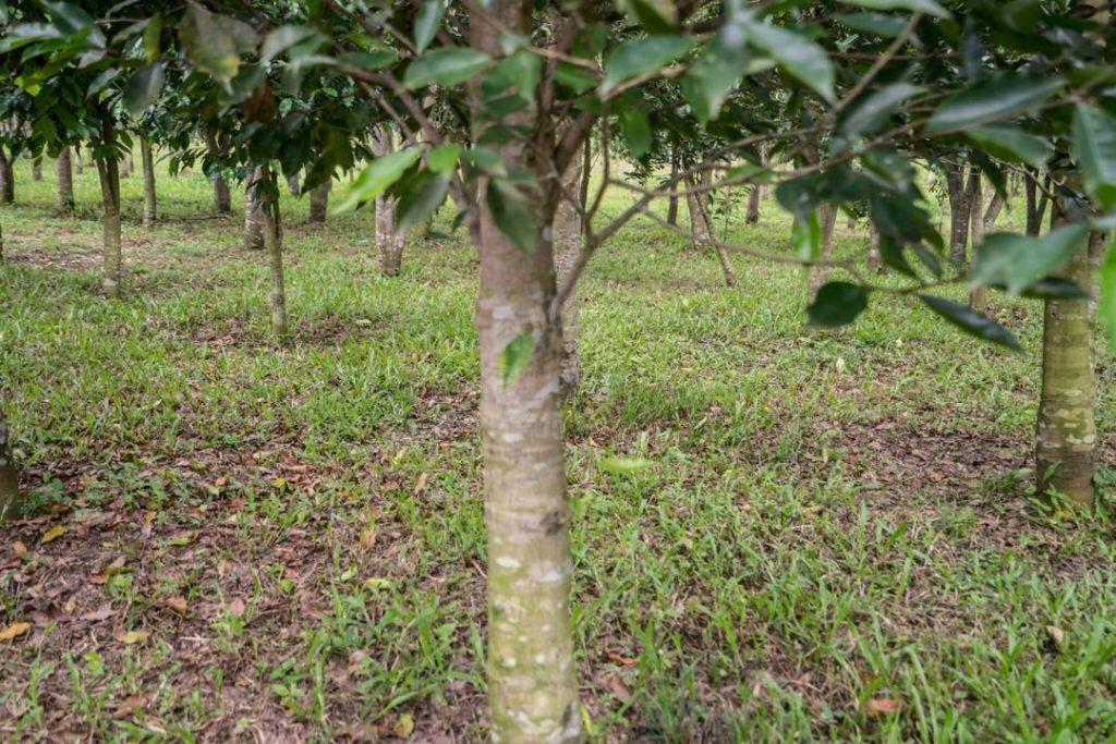 kulai sandalwood tree  agricultural landss 5 acres area of ground sale from rm 5,445,000 at kulai, johor, malaysia #4186
