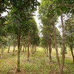 kulai sandalwood tree  agricultural lands 5 acres floor space selling price rm 5,445,000 on kulai, johor, malaysia #4190
