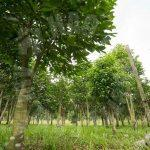 kulai sandalwood tree  agricultural landss 5 acres land-area sale from rm 5,445,000 on kulai, johor, malaysia #4189