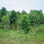 kulai sandalwood tree  agricultural lands 5 acres land area selling from rm 5,445,000 at kulai, johor, malaysia #4187