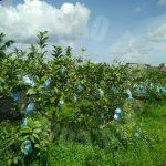 ban foo 2 guava agricultural  agricultural lands 2 acres land-area sale price rm 660,000 #4217