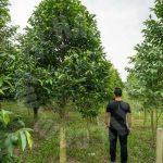 kulai sandalwood tree  agricultural lands 5 acres floor area selling at rm 5,445,000 on kulai, johor, malaysia #4188