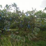 ban foo 2 guava agricultural  agricultural landss 2 acres land area sale at rm 660,000 #4215