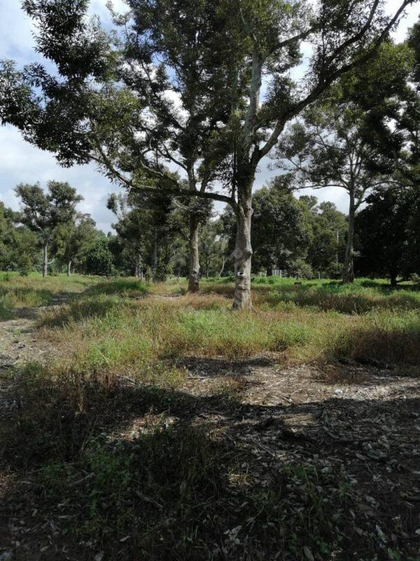 segamat 50 durian farm lands 50 acres land area sale price rm 15,500,000 at segamat, jementah #7383