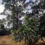 sungei tiram 2 musang king durian  agricultural landss 2 acres land area selling at rm 900,000 on sungei tiram #7647
